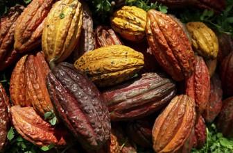 La storia del cacao – la bevanda degli dei