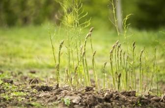 Asparago selvatico: proprietà e curiosità