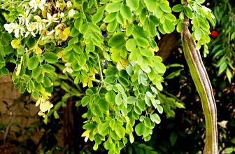 Moringa Oleifera: usi alimentari e benefici